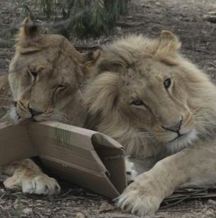 Maak kennis met onze adoptie leeuwen Marley en Elsa